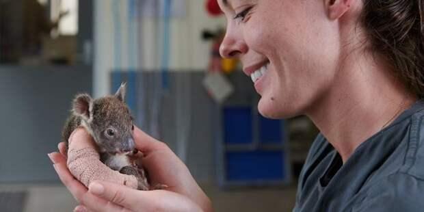 В Австралии спасли коалу-сиротку со сломанной лапкой