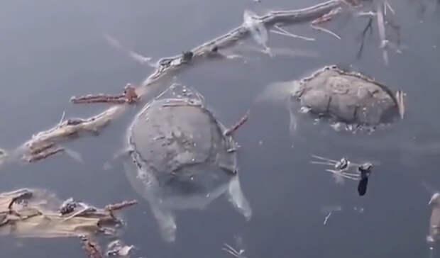 Десятки редких черепах погибли в охраняемом озере под Воронежем