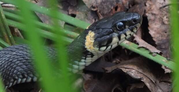 Черных змей заметили на берегах Яузы