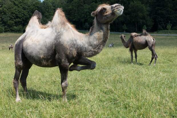 Стадо одичавших верблюдов в Астраханской области наводит страх на сельских жителей