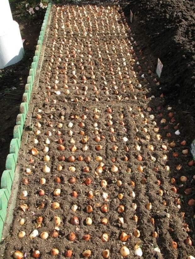 Выкладка луковиц