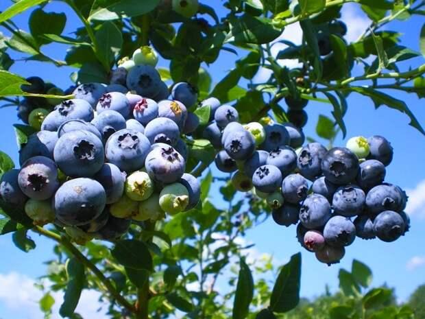 Голубика высокорослая в вашем саду