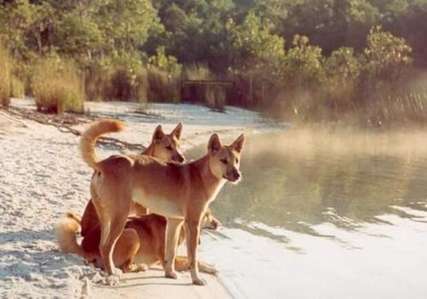 Собака-Динго-Описание-и-образ-жизни-динго-2