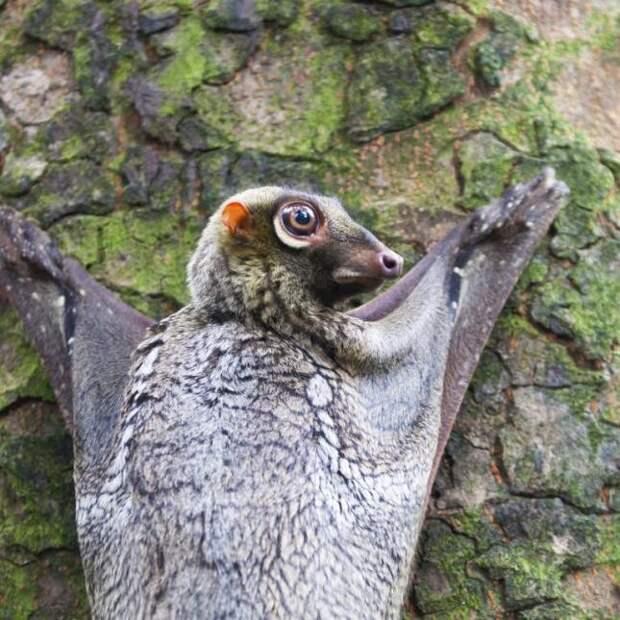22. Малайский шерстокрыл животные, природа, странности