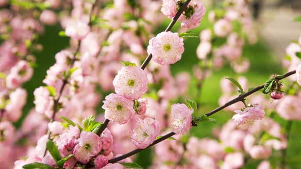 Цветут в самую суровую погоду: 8 холодостойких цветущих кустарников и деревьев