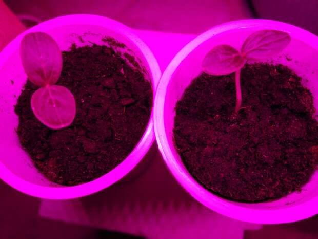 За окном- зима, на подоконнике- рассада. Продолжаю показывать как растут мои огурчики, посаженные в декабре.