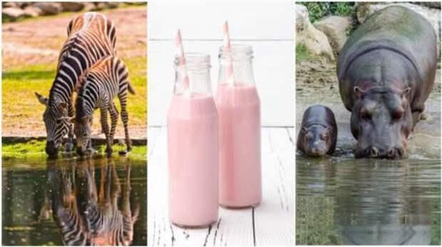 Почему молоко зебр и бегемотов розового цвета