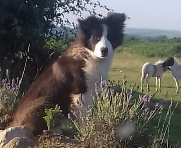 Когда хотел выполнить работу правильно, но вышло не очень колли, овцы, перестарался, щенок