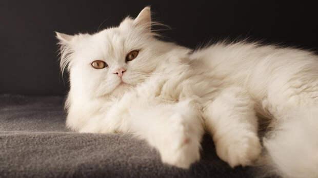 Персидские коты: В прошлом элитная порода для дворян, а сейчас дешёвые котики для каждого.