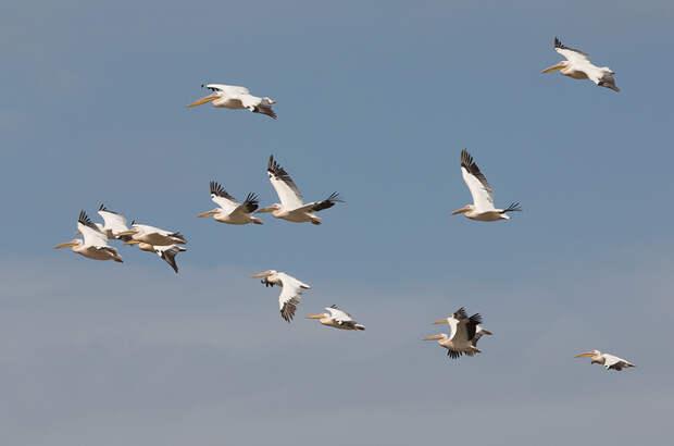Розовые пеликаны и другие обитатели Маныч-Гудила