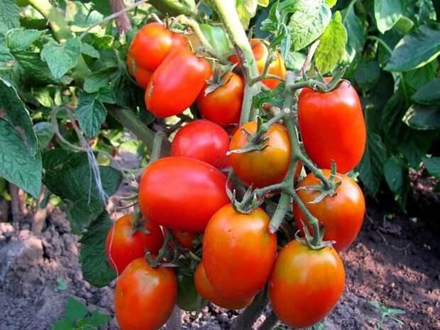 Список кистевых сортов  томатов