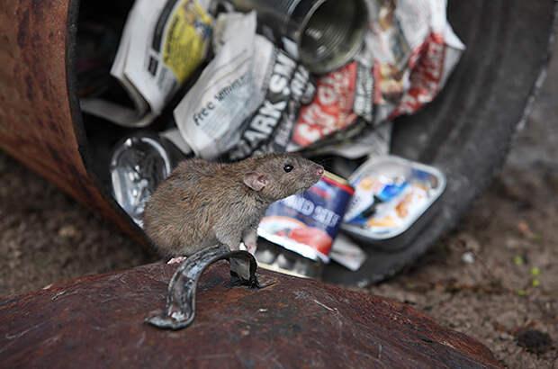 Самая частая причина нападения крысы на человека - самозащита.