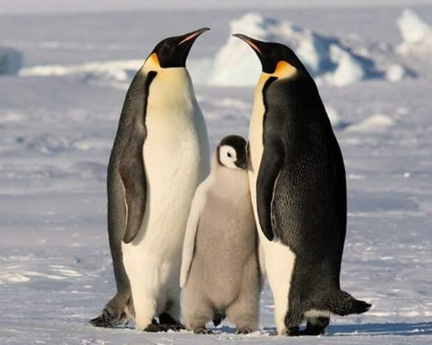 Императорский-пингвин-Описание-и-образ-жизни-императорского-пингвина-8