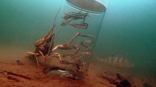 Огромный рак АТАКУЕТ банку с мальком!!! Подводная съемка