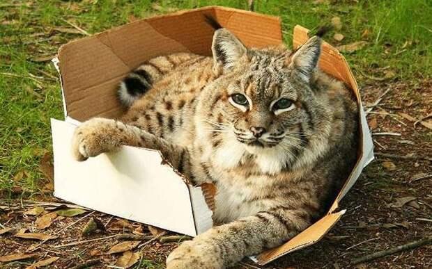 Большие котики тоже любят коробки