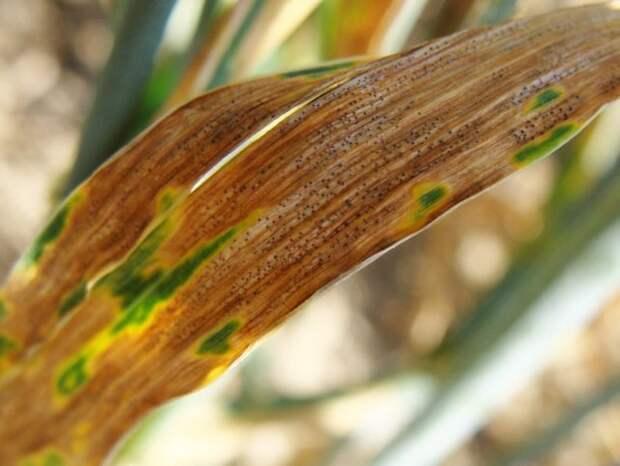 Опасные болезни гладиолусов
