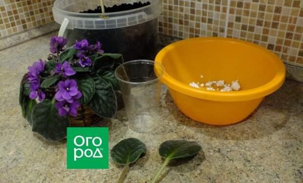 Два самых простых способа размножения фиалок листовыми черенками