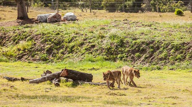 Впервые за свою жизнь львицы почувствовали свободу.