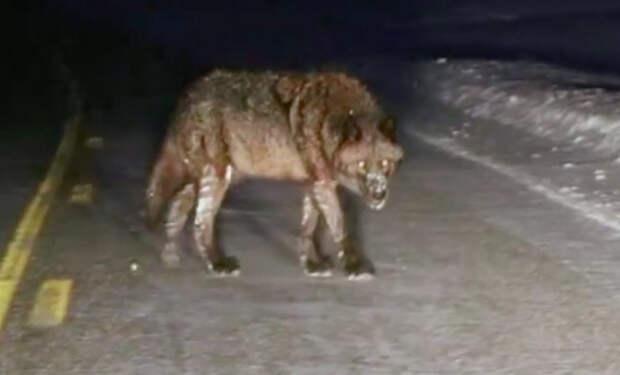 Огромные волки вышли к людям