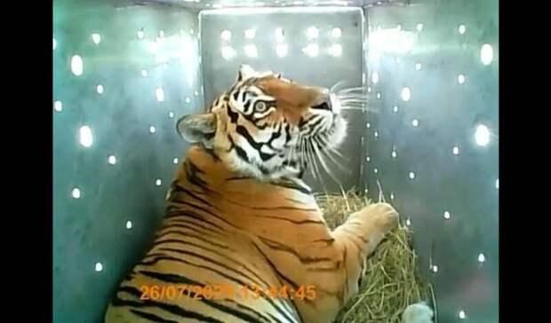 Беги, киса, беги: знаменитую тигрицу-хулиганку из Приморья вернули в дикую природу