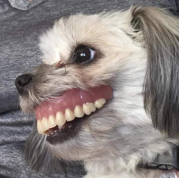 3. Когда собака украла зубной протез, а у тебя чуть не случился инфаркт домашний питомец, животные, подборка, собака, фото, юмор