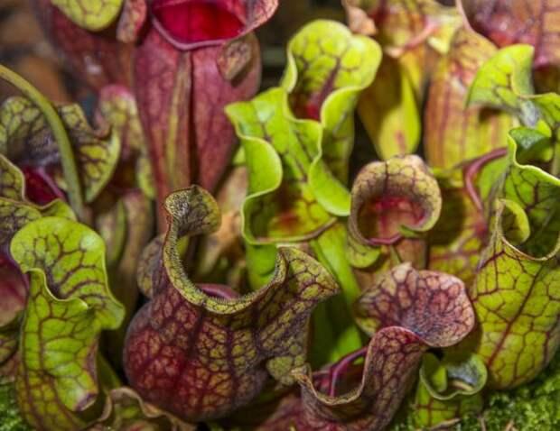 Саррацения – одно из самых необычных растений-хищников, которые можно завести в доме