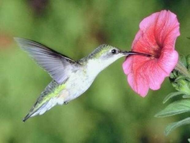 Колибри могут видеть цвета, недоступные человеческому зрению