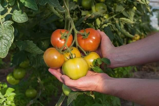 Урожайные томаты: 12 хитростей опытного огородника - Огород, сад, балкон