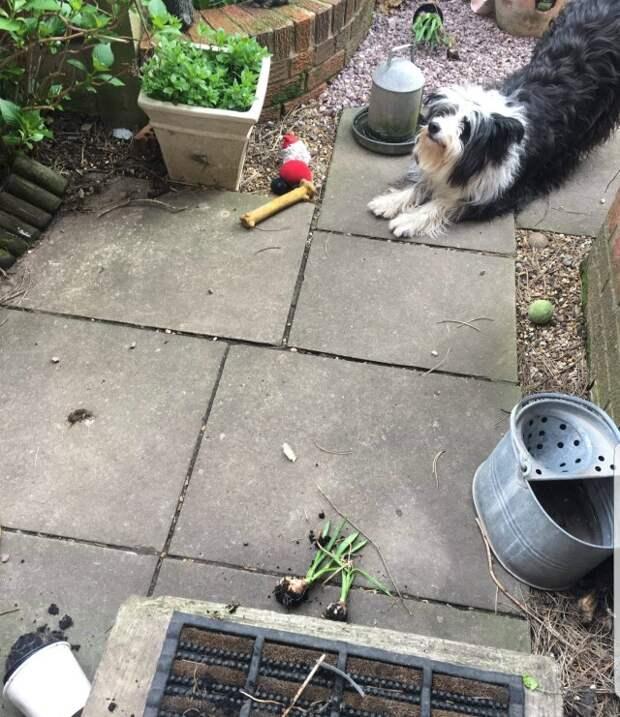 17. Собака обожает выкапывать овощи на огороде и приносить их к порогу хозяев. Она еще и горда собой! забавно, забавные животные, истории, питомцы, подборка, смешно, собаки, хозяева