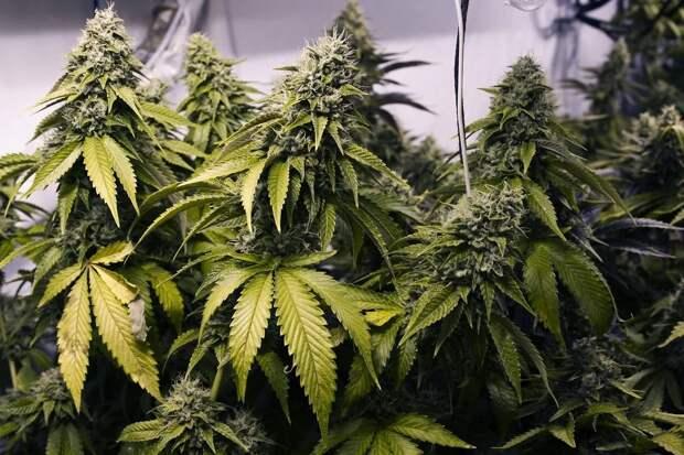 У любителя наркотической травы из Тверской области забрали все «запасы»