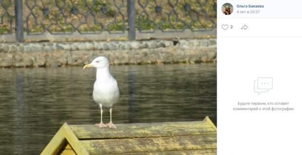 Фото дня: чайка на Амбулаторном пруду