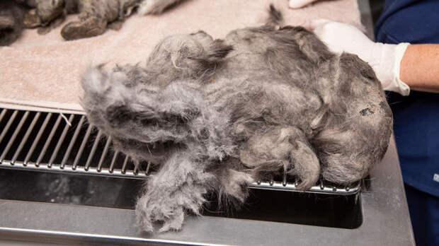 Зоозащитники спасли лохматое чудище. Убрали килограмм шерсти, а под ним великолепная кошка!