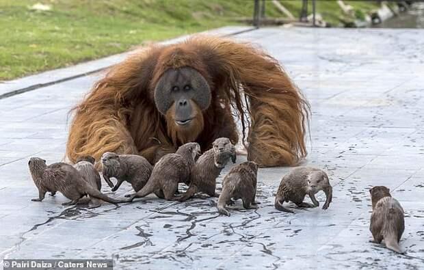 Семья орангутанов, живущая в бельгийском зоопарке, подружилась с семьей выдр