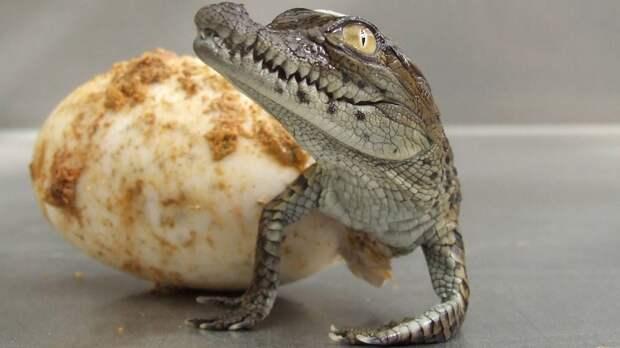 Великие и ужасные крокодилы