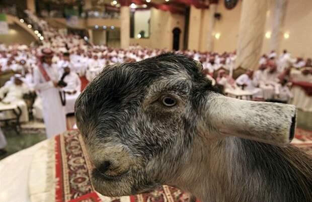 12. Порода, животные, козел, козы, необычные животные, саудовская аравия, селекция, уродливые животные