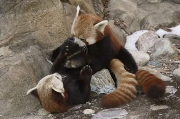 Малую панду можно встретить почти во всех зоопарках мира. Эти животные отличаются миролюбивым характером и легко приживаются в неволе