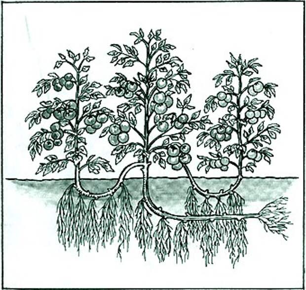 Выращивание помидор по Маслову. Увеличение урожая в 8 раз!
