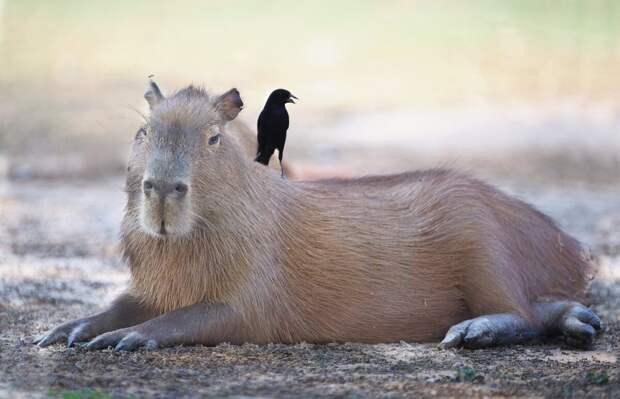 Капибара. Самый крупный грызун длиной в метр