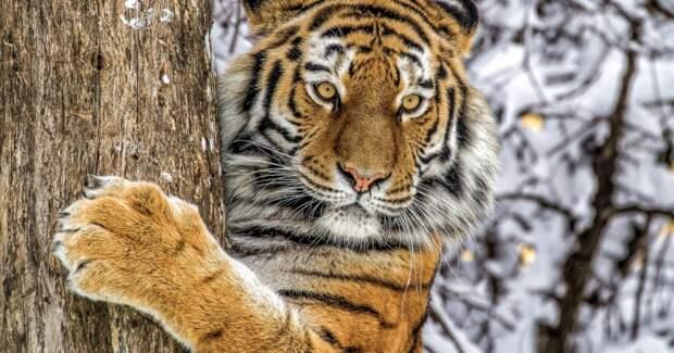 Как зоозащитники чуть неуничтожили последних амурских тигров