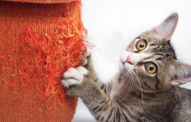 На какое-то время придется нанести мазь на мебель, чтобы отучить кота / Фото: prohvost.club