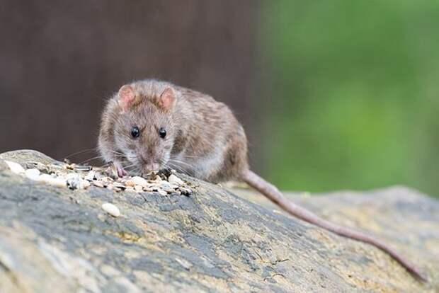 Коричневая Крыса, Животное, Грызун