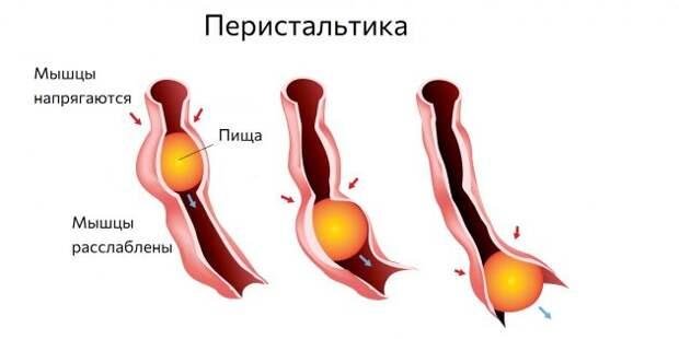 Когда мышцы кишечника сокращаются, возникает урчание в животе.