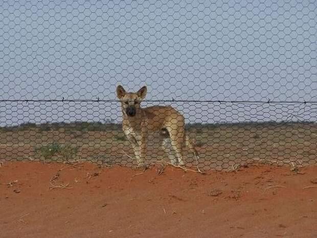 Собака-Динго-Описание-и-образ-жизни-динго-9