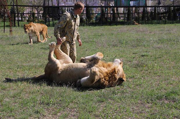 Львы из крымского зоопарка, которым помогает Лионель с едой.