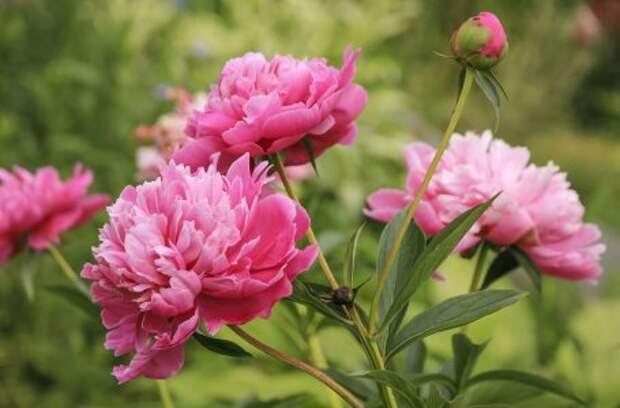 Что делать с пионами после цветения – обрезка и уход