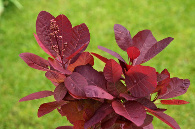 Скумпия с пурпурной листвой