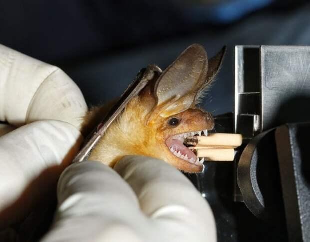 13. Укус любой летучей мыши грозит человеку бешенством МИФ И ПРАВДА, животные, животный мир, интересные факты, миф, познавательно, факты о животных