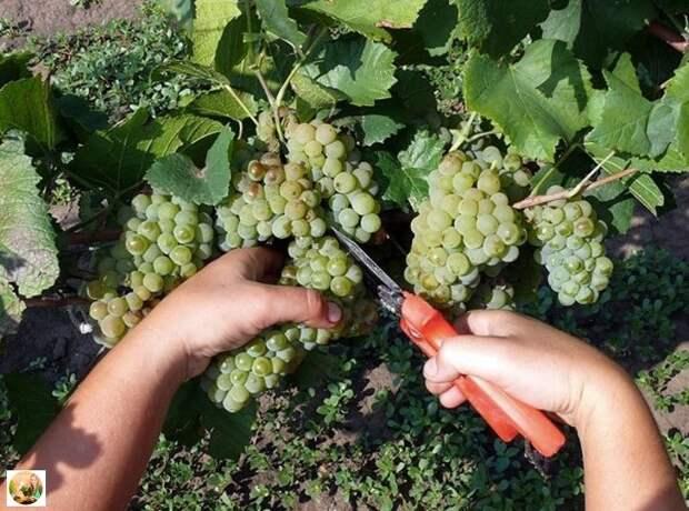 Советы начинающим виногрядарям