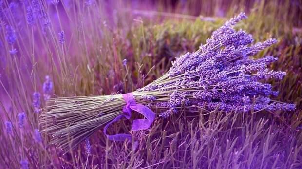 Засушливый климат сделал Крым лучшим местом для выращивания лаванды