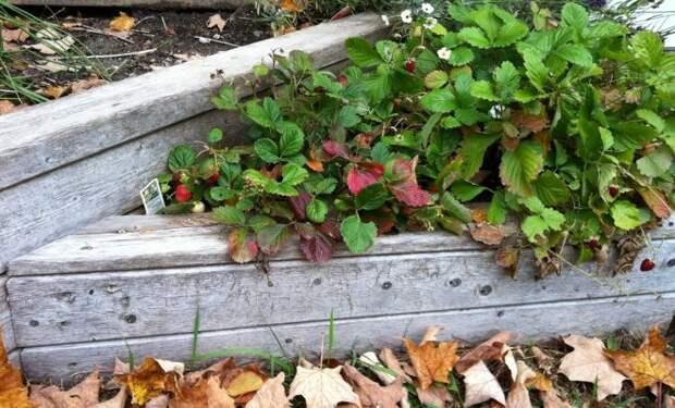 Осенний уход за клубникой
